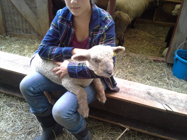 Babydoll Southdown Sheep For Sale