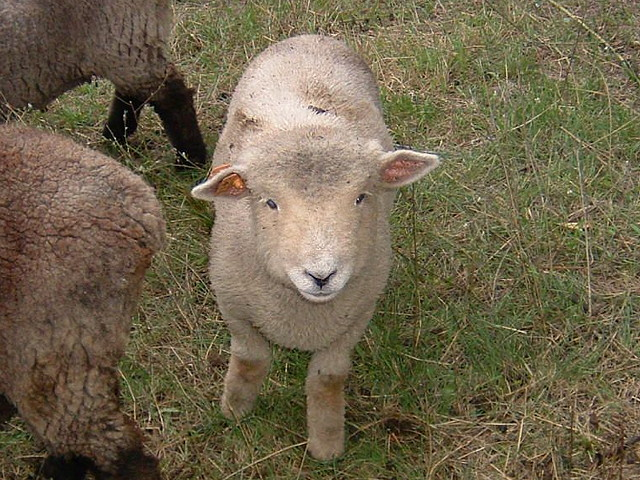 Babydoll Sheep Images - Reverse Search