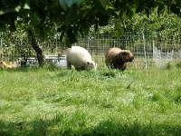 Chickens and Sheep Share the Orchard